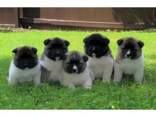Akita Pups For Sale 5 Boys 2 Girls