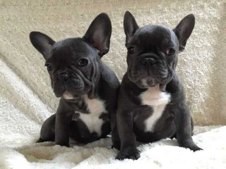 Amazing Selection Of French Bulldogs