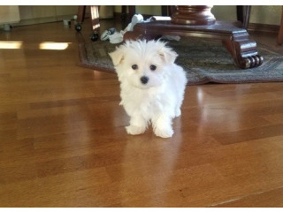 Adorable Maltese pups for sale.