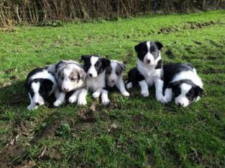 Chunky Border Collie Puppies.
