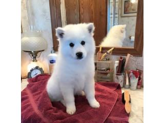 Standard American Eskimo dog.