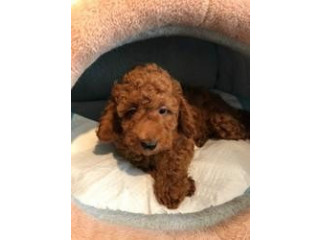 Beautiful Toy Poodle Puppies