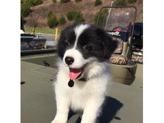 Border collie now for rehoming