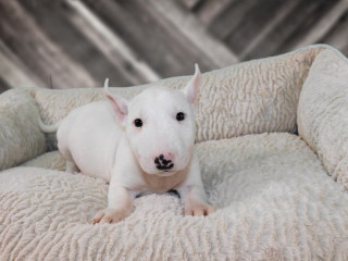 Bull terrier available
