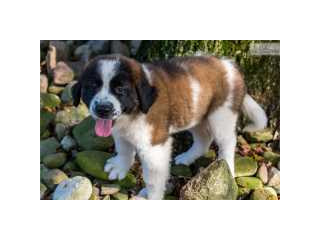 Saint Bernard male and female for rehoming