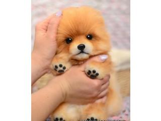Cute Pomeranian spitz
