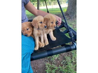 Golden retriever available for  rehoming