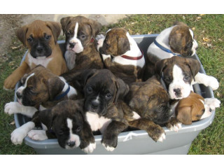 Stunning Quality Boxer Puppies For Sale.
