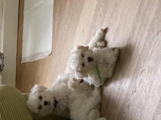 Adorable Bichon Frise Puppy's For Sale
