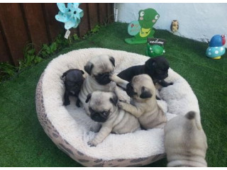 Beautiful Pug Puppys For Sale