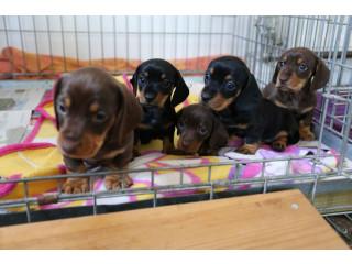 Beautiful Litter 5 Mini Dachshund Pups