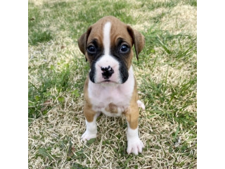 Beautiful Boxer Puppies Available