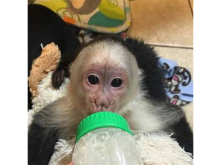The Perfect Capuchin monkeys  for sale