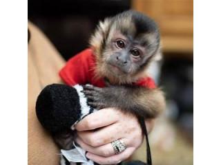 The Capuchin monkeys