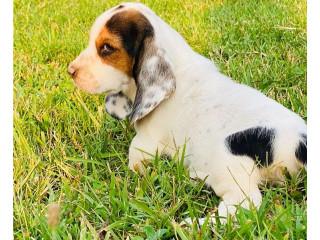 Basset Hound Puppies.
