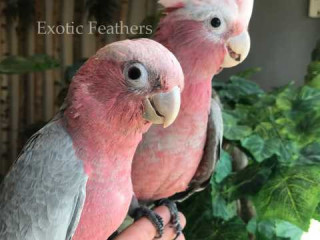 Gorgeous Hand Reared Galah Cockatoos For Sale.