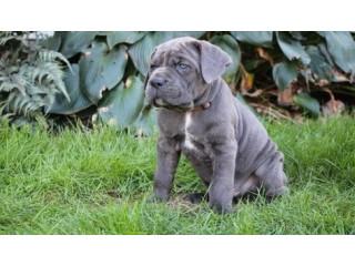 Fully Vaccinated Italiano Cane Corso Puppies
