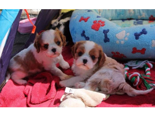 Healthy Cavalier King Charles Spaniel Puppies For Sale