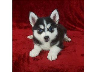 Friendly Pomsky puppies for new homes