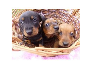 Too cute, too smart, too healthy Dachshund puppies for sale