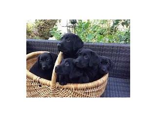 Labrador Retriever puppies,healthy Black,Brown,Yellow F/M puppies