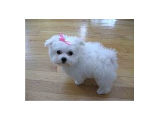 Cute little Jasmine Maltese puppies with siblings for sale