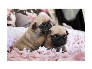 Pugs Puppies Ready Now.