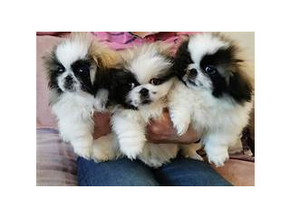 Hi guys im selling my 2 adorable pekingese pups 1 boy 1 girl due