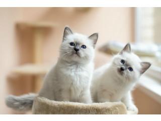 Burmese blue-eyed kitten ready to go home forever