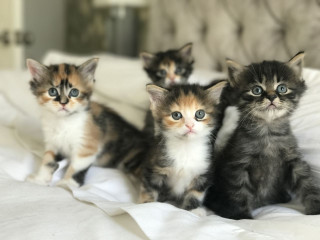 Maine Coon Babies Ready for new homes
