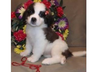 Amazing Basset Hun Puppies
