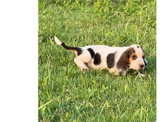 Adorable basset Houn Puppies for Sale