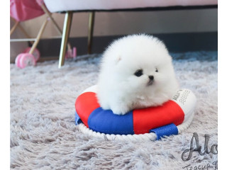 Beautiful pomeranian Puppies For Sale.