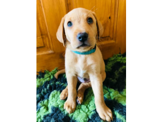 READY TO LEAVE NOW - KC Registered Pedigree Labrador Puppies