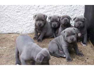 Blue Staffy Puppy Kc Registered