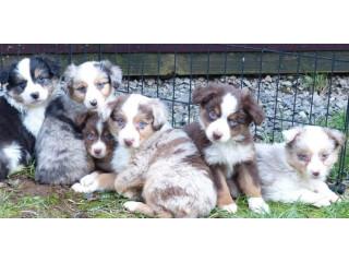 Australian Shepherds for Sale