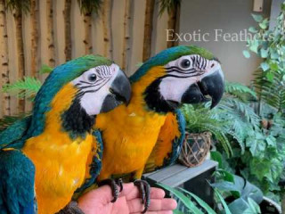Hand Reared Blue & Gold Macaws Parrots For Sale