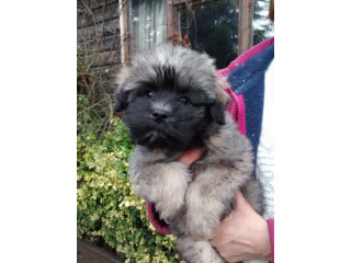 Beautifull Löwchen Puppies For Sale