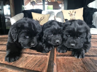 Newfoundland Puppies for new home.