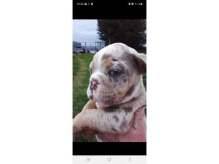 Stunning old tyme bulldog puppies