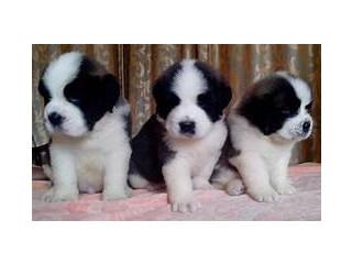 Bernard Puppies.