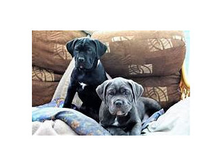 Cane Corso Puppies Contact on email