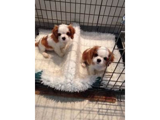 Cavalier KingCHarles Spaniel puppies for sale