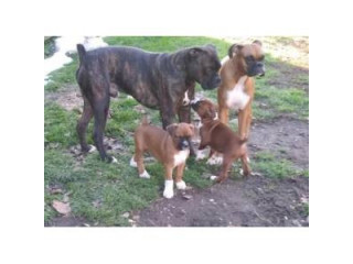 Very loving Playful and such a smart Boxer puppies