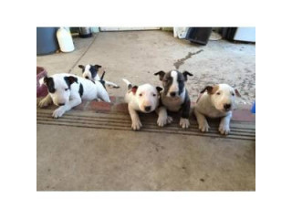 Gorgeous Bull Terrier Puppies For Sale