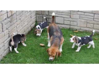Champion Beagle Puppies