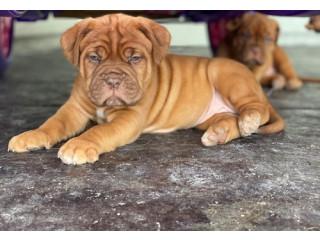 Stunning Dogue de bordeaux Puppies,