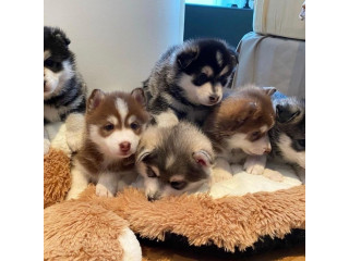 Affectionate Pomsky puppies available for new home