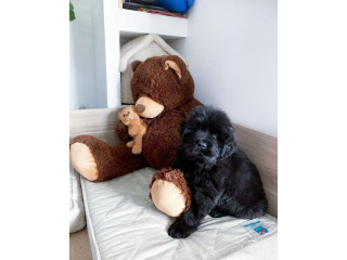 Newfoundland Puppies for new home. +447440524997