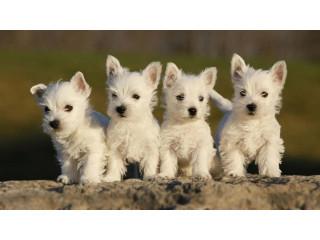 Excellent West Highland Terrier Puppies